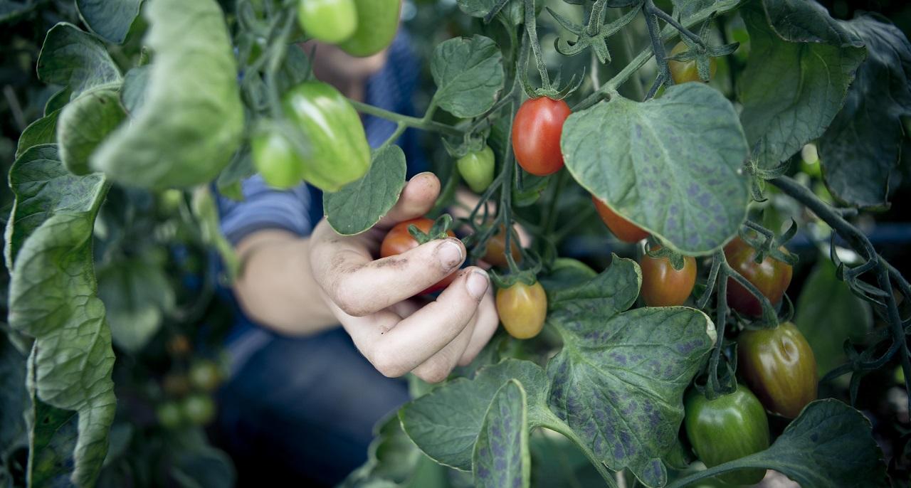 https://www.bioland.de/fileadmin/user_upload/Verbraucher/Blog/Gewusst_wie_/Tomate/Tomaten_Hero_Herpich.jpg